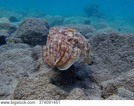 Pharaoh Cottlefish. Mollusks, Type Of Mollusk. Head-footed Mollusks. Cuttlefish Detachment. Pharaoh