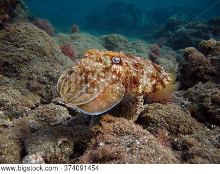Pharaoh Cottlefish. Mollusks, Type Of Mollusk. Head-footed Mollusks. Cuttlefish Detachment. Pharaoh