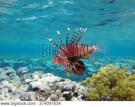 Lionfish. Fish - Type Bone Fish Osteichthyes. Scorpaenidae. Winged Warrior.fish Zebra. Lionfish, Cor