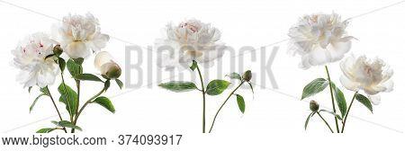 Set Of Beautiful Peony Flowers Isolated On White Background.