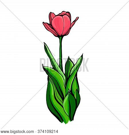 Red Tulip On A Stem With Leaves, Isolated On A White Background.tulip Flower.hand Drawn Illustration