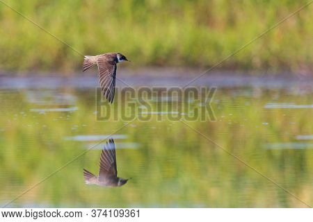 Sand Martin Drinks Water On The Fly