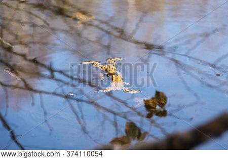 Common Toads (bufo Bufo) In The Pool Of Water With Reflections Of Branches On Its Surface