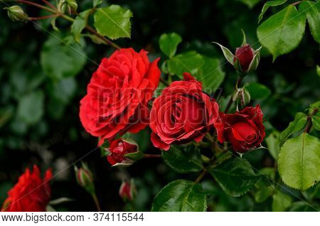 Rosa Grand Hotel 'mactel', Red Roses On A Subdued Background, Nicely Photographed, At Close Range, I