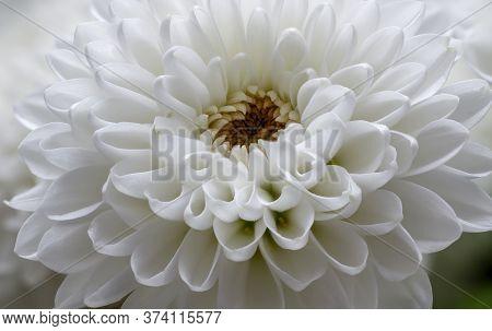 In Full Bloom, White Hrysanthemum Flower, Dendranthema Des Moul, Frame From Bilska, Flower In Full B