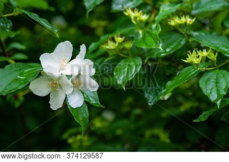White Jasmine Flowers. A Branch Of Jasmine On A Background Of Foliage And Faded Inflorescences. Grai
