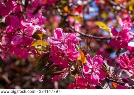 Pink Blooming Tree Flowers Nature Background with Blurred Background