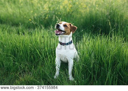 Happy Puppy Jack Russell Terrier Walking In The Summer Meadow. Dark Green Background.