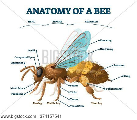 Anatomy Of Bee Educational Labeled Body Structure Scheme Vector Illustration. Biological Description