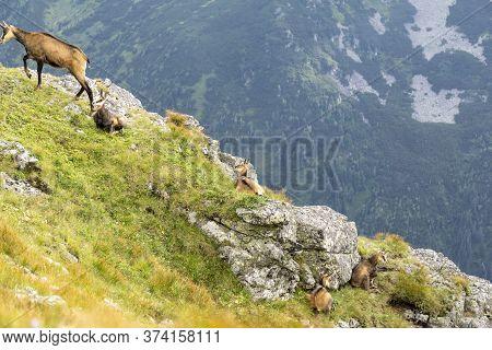 Tatra Chamois ( Rupicapra Rupicapra Tatrica ). Tatra Mountains.