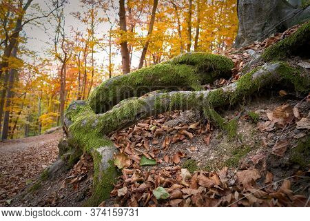 Tree Roots On A Hiking Trail In The Autumnal Forest Near Karlovy Vary In The Czech Republic