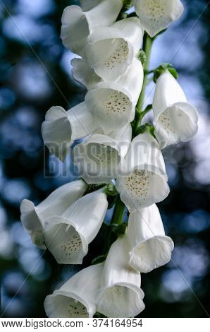 White Garden Digitalis On A Colorful Background Unusually Beautiful Close Up