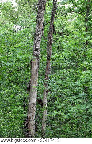 Dead Elm Tree Caused By Dutch Elm Disease (ded) (ophiostoma Ulmi)