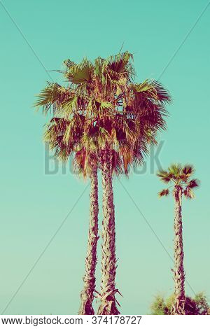 Tall Palm Trees On Turquoise Sky Background. 60s Vintage Style With Film Effect. Tropical Nature Tra