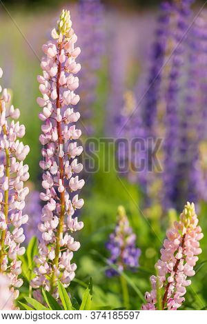 Flowers Of Pink And Purple Lupin On The Field In Natural Sunlight.
