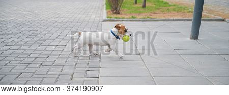 Purebred Smooth-haired Puppy Jack Russell Terrier Plays On The Street. Joyful Little Dog Companion R