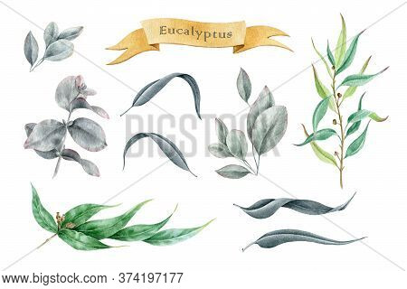 Eucalyptus Leaf And Branch Watercolor Illustration Set. Hand Drawn Elements Cinerea, Gunnii, Populus