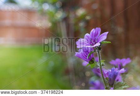 Violet Flower Common Mallow (malva Sylvestris) In English Garden, Beautiful Purple Flowers On Spring