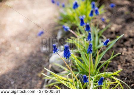 Beautiful First Spring Perennial Bulbous Flowers Blue Muscari, Grape Hyacinth, Bluebells, Bluebonnet