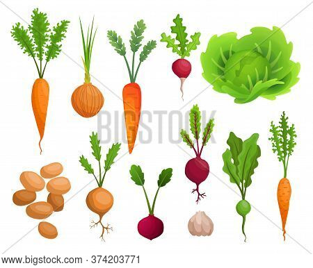 Collection Of Growing Vegetables. Plants Showing Root Structure. Organic And Healthy Food. Farm Prod