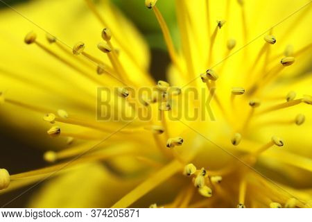 Beautiful Yellow Flower Close-up, Pestle And Stamen Seeds