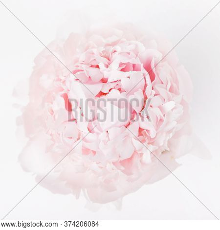 Light Peony On A White Background, Top View, The Concept Of Beauty, Weddings