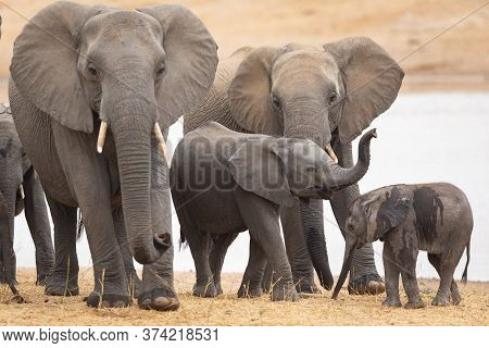 Small Elephant Herd Standing Together By Water In Kruger Park South Africa