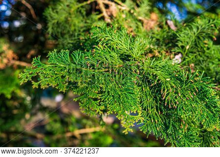 Green Prickly Evergreen Tree Branch Closeup As Background.