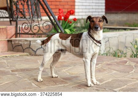 Dog Breed Smooth-haired Fox Terrier In The Open Air