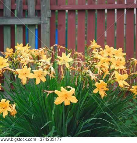Close Up Of Beautiful Daylilies Against The Wooden Fence