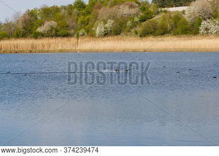 Forest Lake In Sunny Weather. Dry Reed, Reed. Thickets Of Lakes. Ducks On The Lake