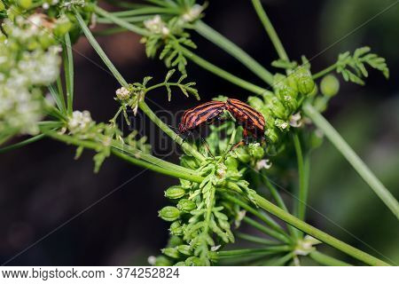 Two Graphosoma Lineatum Or Shield Bug Or Striped Bug Copulating On A Branch In Palencia, Spain
