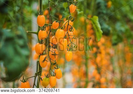 Yellow Cherry Tomatoes Grow In The Garden. Close Up