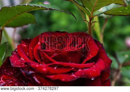 A Huge Rose Bud On A Bush Against A Background Of Leaves