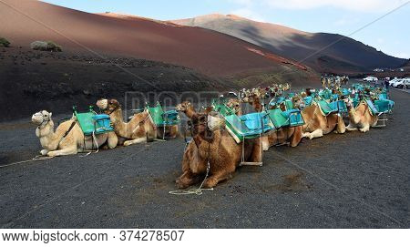 Yaiza, Lanzarote, Spain - March 28, 2019:  Camels Sitting In Rows Waiting For Tourists To Arrive.