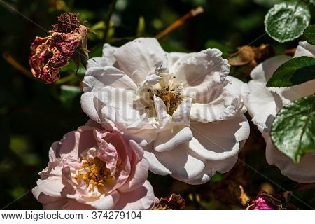 Beauty Of Almost Withered Pink Rose, Close Up Isolated.
