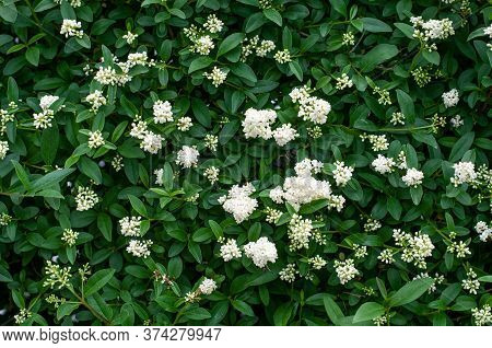 A Privet Hedge With White Inflorescences As A Floral Background