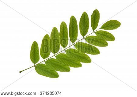 Yong Springtime Acacia Leaf Cut Out On White Background. Herbarium Series.