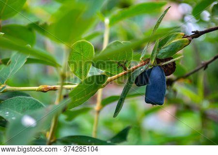 Ripe Blue Honeysuckle Berries On A Bush During Harvest