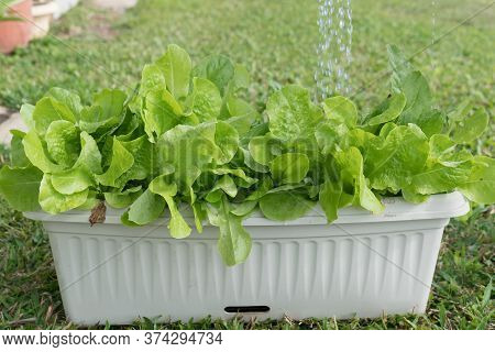 Healthy Romaine And Loose Leaf Lettuce Plants Being Watered With Liquid Fertiliser