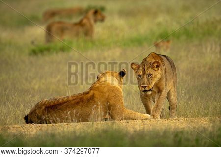 Lioness Walks Over To Another Lying Down