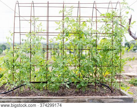 Mixed Varieties Of Small Cherry And Grape Tomatoes Growing On Mesh Trellis In Home Garden