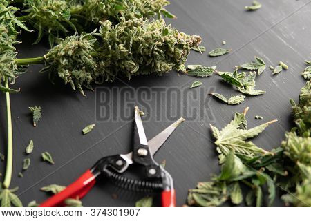 Growers Trim Their Pot Buds Before Drying. Mans Hands Trimming Marijuana Bud.