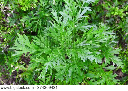 Ragweed Bushes. Ambrosia Artemisiifolia Shrubs That Causes Allergic Reactions. Young Bush Have Not Y