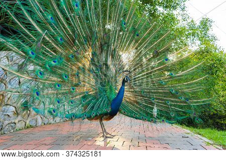 Beautiful Well-groomed Male Peacock, Spreading Its Tail, Luxurious Tail, Flirts With A Female