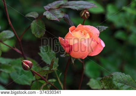 Blooming Tangerine-orange English Rose In The Garden On A Sunny Day. Rose Lady Emma Hamilton