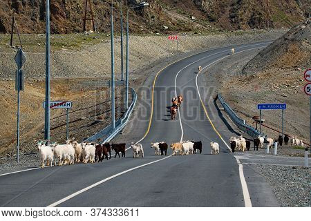 Russia. South Of Western Siberia. Mountain Altai. Goats Of Altai Breed Goes Along The Chuya Highway.
