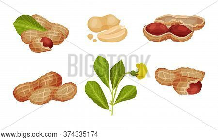 Peanut Or Groundnut Legume Plant Pod With Seed Inside Vector Set