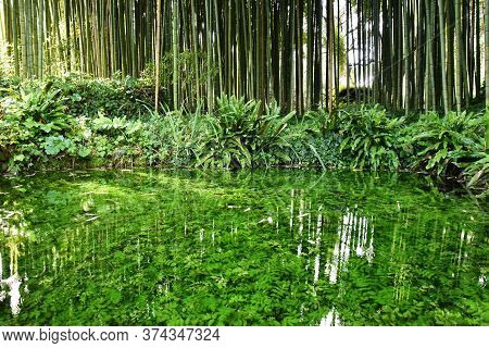 Beautiful Pond With Many Aquatic Plants Against A Big Bamboo Forest - Save The Planet And Care Plant