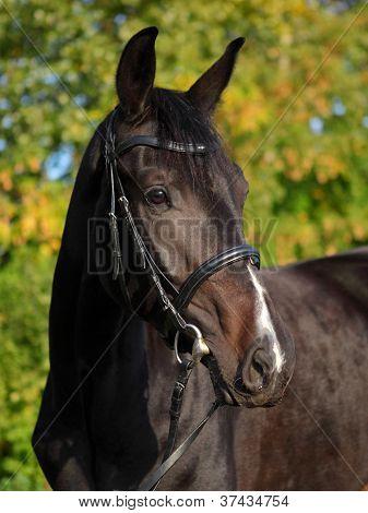 Thoroughbred race horse portrait